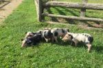 Schweine-Babys im Haustierpark Lelkendorf