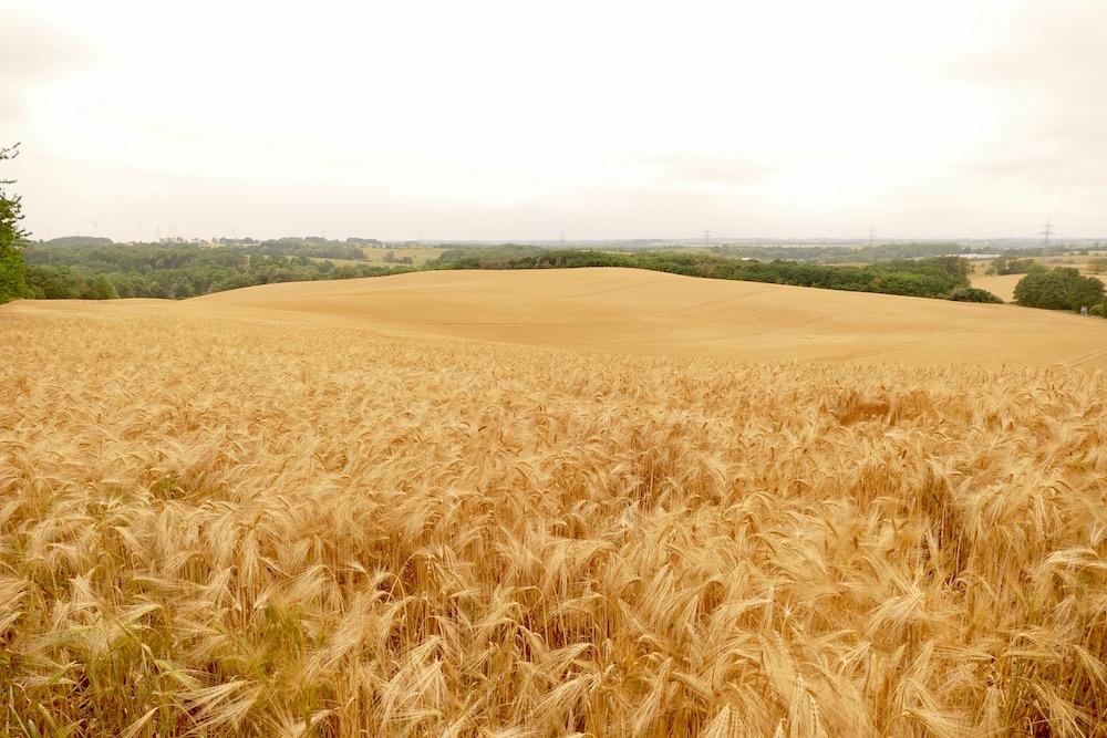 Weizenfelder in Kösterbeck